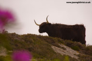 Highland cow on the hill