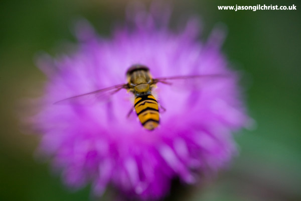 Hoverfly on pink flower
