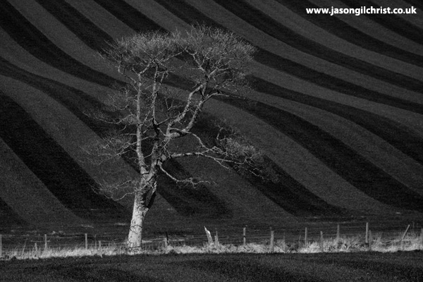 Lone tree on the Bathgate Hills