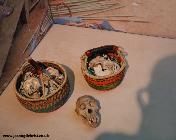 In the shadow of humankind - primate skulls and bones - Monkey Business