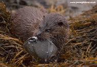 Otter with flatfish