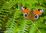Splendour of the Peacock Butterfly (Inachis io)