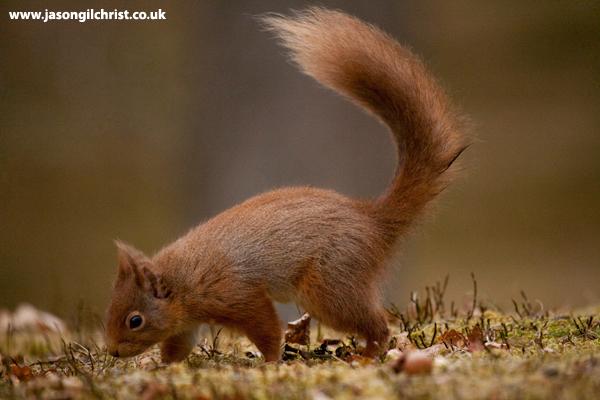 Red Squirrel, Sciurus vulgaris, Aviemore, Scotland.