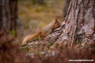 Red Squirrel, Sciurus vulgaris, Scotland