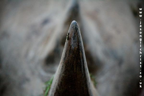 Rhino horn: white rhinoceros