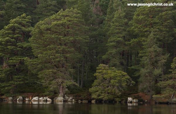 Scots pine trees of Loch Garten