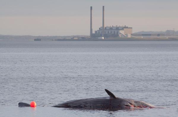 Sperm whale-dead-Joppa-Portobello-Edinburgh-Scotland-Physeter macrocephalus-12