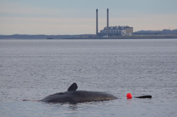 Sperm whale-dead-Joppa-Portobello-Edinburgh-Scotland-Physeter macrocephalus-16