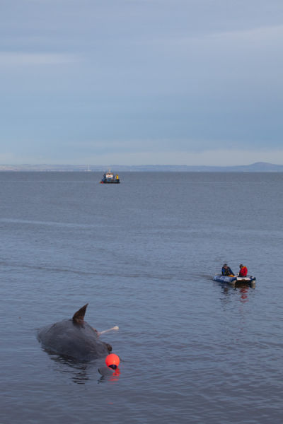 Sperm whale-dead-Joppa-Portobello-Edinburgh-Scotland-Physeter macrocephalus-19