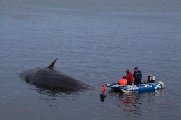Sperm whale-dead-Joppa-Portobello-Edinburgh-Scotland-Physeter macrocephalus-21