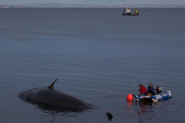 Sperm whale-dead-Joppa-Portobello-Edinburgh-Scotland-Physeter macrocephalus-22