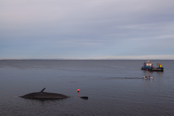 Sperm whale-dead-Joppa-Portobello-Edinburgh-Scotland-Physeter macrocephalus-23