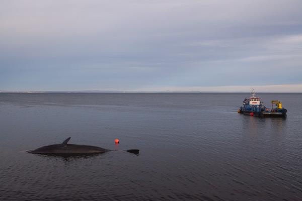 Sperm whale-dead-Joppa-Portobello-Edinburgh-Scotland-Physeter macrocephalus-24