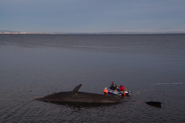 Sperm whale-dead-Joppa-Portobello-Edinburgh-Scotland-Physeter macrocephalus-28