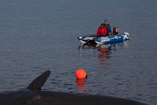 Sperm whale-dead-Joppa-Portobello-Edinburgh-Scotland-Physeter macrocephalus-30