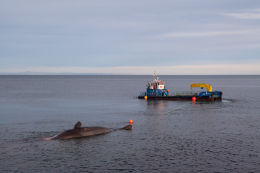 Sperm whale-dead-Joppa-Portobello-Edinburgh-Scotland-Physeter macrocephalus-32