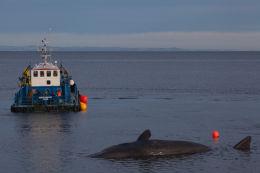 Sperm whale-dead-Joppa-Portobello-Edinburgh-Scotland-Physeter macrocephalus-34