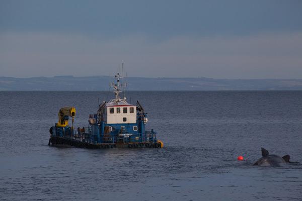 Sperm whale-dead-Joppa-Portobello-Edinburgh-Scotland-Physeter macrocephalus-38