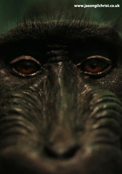 Sulawesi crested macaque - Monkey Business