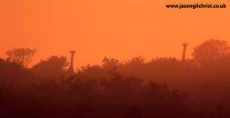 Sunrise Giraffe