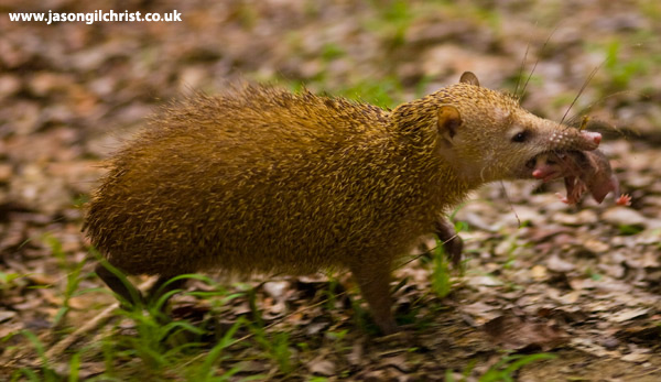 Tenrec: mother and baby