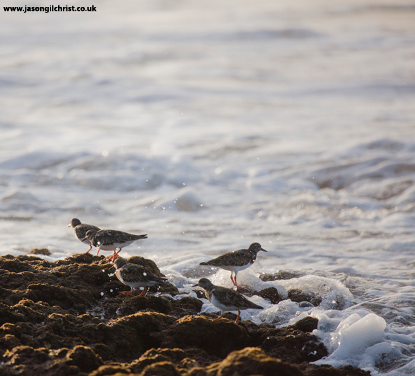 Turnstone at Albufeira