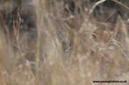 Warthog in the grass