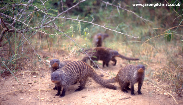 Portrait of a group of banded mongooses