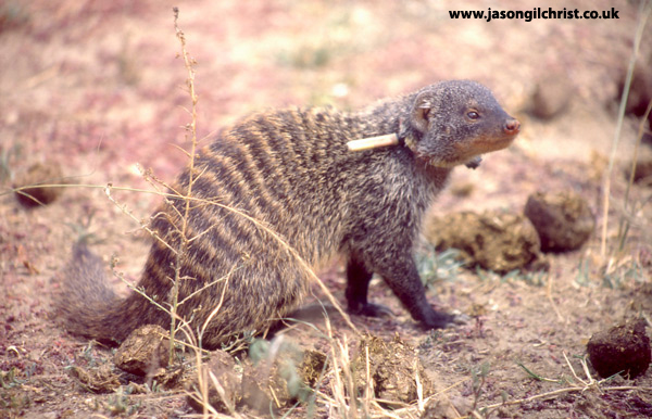 Portrait of a banded mongoose, Mungos mungo