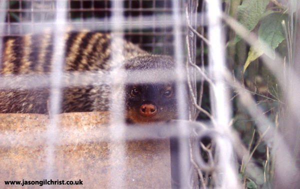 Banded mongoose in a live trap