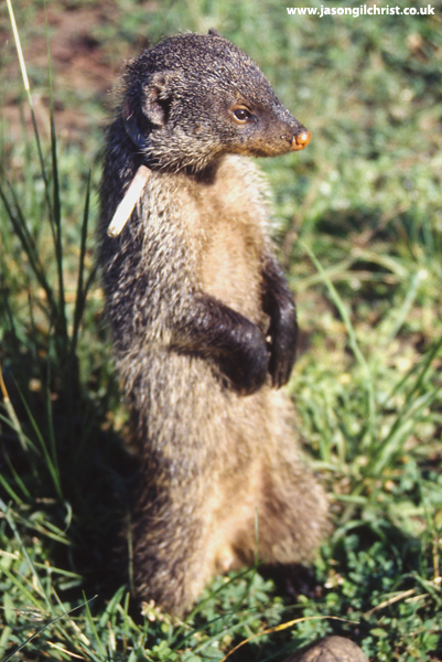 On guard: vigilant banded mongoose