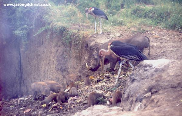 Banded Mongooses foraging at garbage dump alongside Warthogs and Marabou Storks