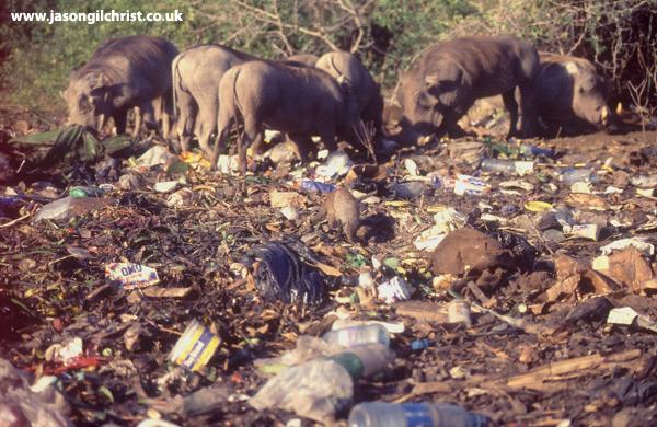 Banded Mongoose foraging at garbage dump with Warthogs