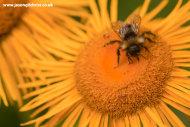 Bee on sunflower, Risnjak