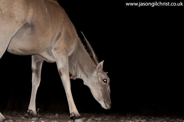 Common Eland, Tragelaphus oryx, at night, camera trap