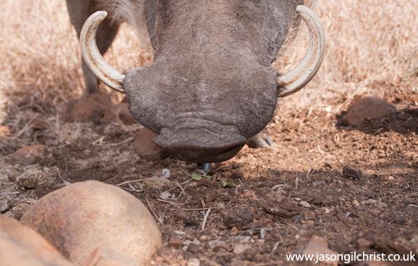 Common Warthog, Phacochoerus africanus, camera trap