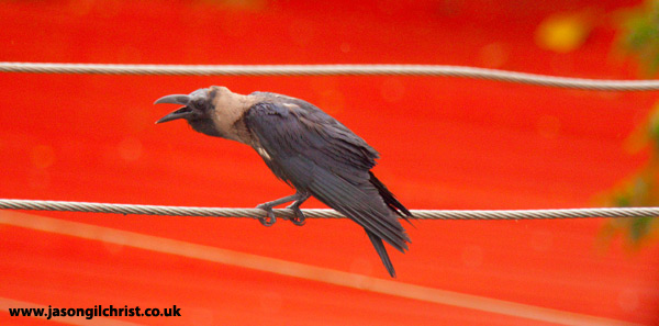 House Crow on Red