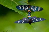 Pair of mating burnet moths (Amata phegea)