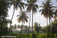 Thrissur Palm Trees
