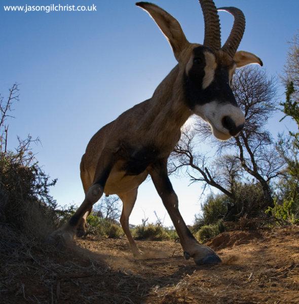 Roan Antelope, Hippotragus equinus, camera trap
