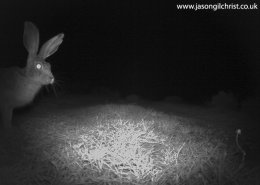 Scrub Hare, Lepus saxatilis, at night, camera trap