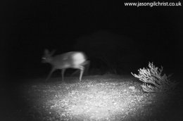 Steenbok, Raphicerus campestris, at night, camera trap