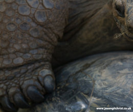 The Ancient: Aldabra giant tortoise (Dipsochelys dussumieri)
