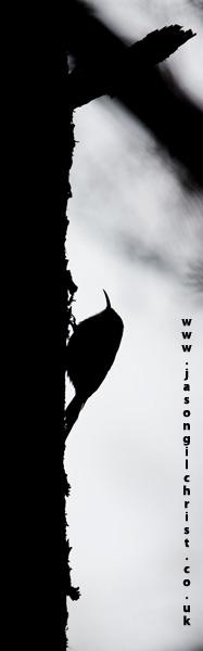 Treecreeper silhouette