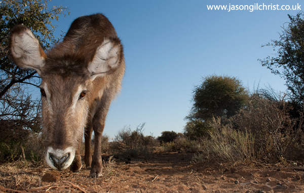 Waterbuck, Kobus ellipsiprymnus, camera trap