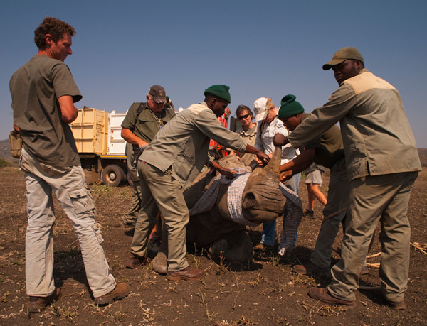 White rhinoceros undergoing capture for translocation
