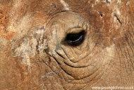white rhino eye II: adult