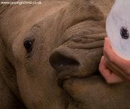 Orphan White Rhinoceros: bottle-feeding
