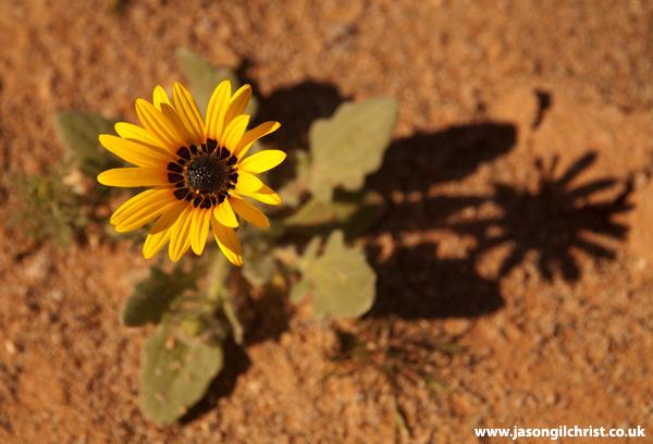 Yellow flower of the desert