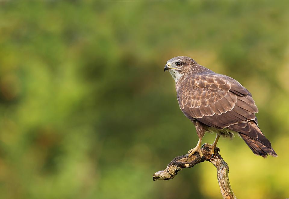 Common Buzzard Perched